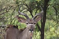 Another kudu